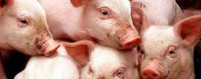 Livestock Confined Swine Insurance